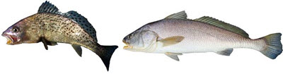 Queensland black jewfish ban